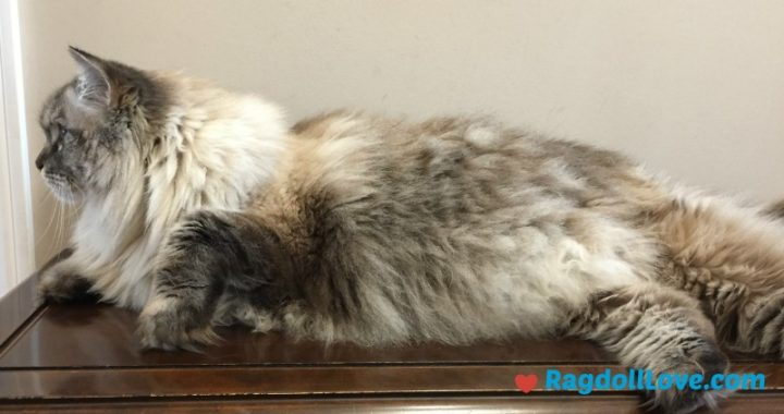 Large Lynx Ragdoll Cat Lying on a Table