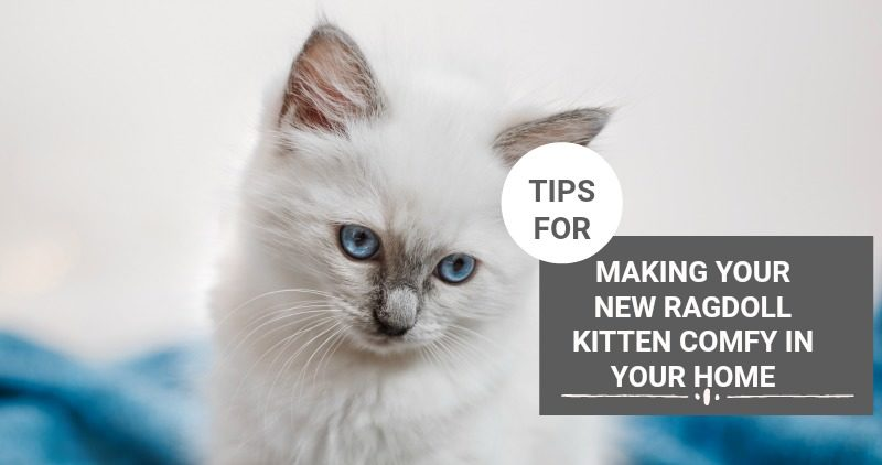 Practical Tips For Transitioning Your Ragdoll Kitten Into