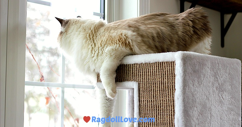 Large Seal Bicolour Ragdoll Cat on top of tower looking out window