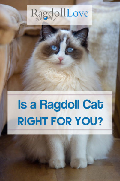 Fluffy Large Seal Bicolour Ragdoll Cat - Is a Ragdoll Cat Right For You
