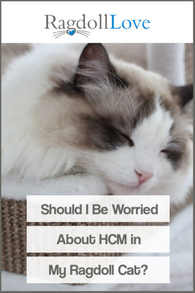 SLEEPING RAGDOLL CAT - SHOULD I BE WORRIED ABOUT HCM IN MY RAGDOLL CAT