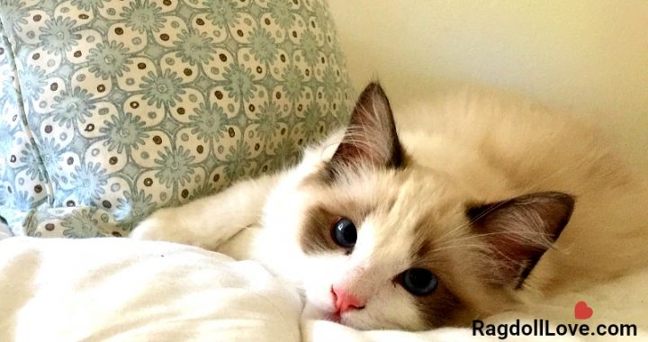 Seal Bicolour Kitten Relaxing on Bed