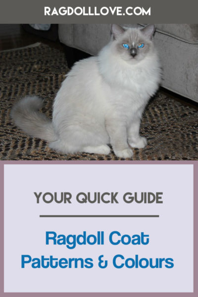 Blue Mitted Young Ragdoll Cat