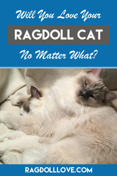 WILL YOU LOVE YOUR RAGDOLL CAT NO MATTER WHAT