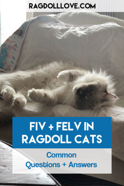 What You Need to Know About FIV and FELV in Ragdoll Cats